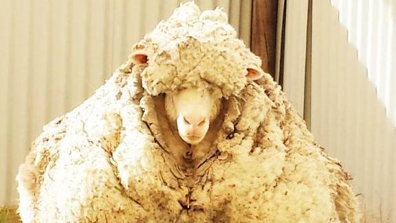 Schaf Australien Nicht Geschoren