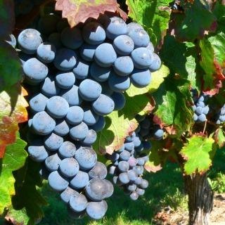 Wie beeinflusst die Rebsorte den Charakter des Weins?